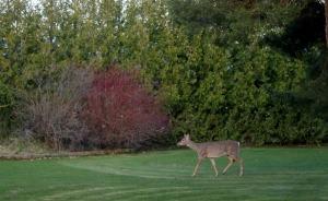 deersw