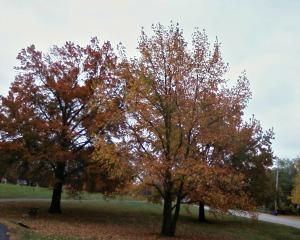 oak - Copy