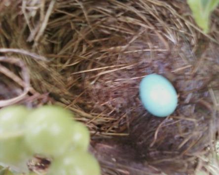 1 robin egg